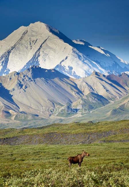 Orignal, debout sur le paysage herbeux dans le Denali National Park, Etats-Unis — Photo de stock