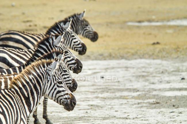 Вид збоку Grevys зебр в Нгоронгоро більш дерев'яний ящик, Танзанія — стокове фото