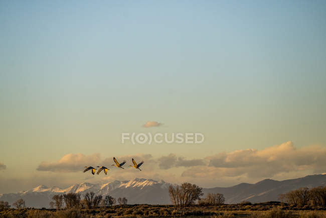 Sandhill Cranes Take Flight At Sunset During The Annual Sandhill Crane Migration In Colorado — Stock Photo