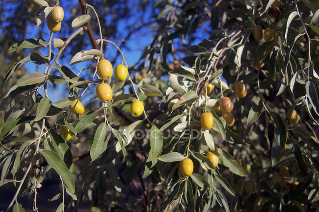 Green Olives Growing On An Olive Tree — Stock Photo