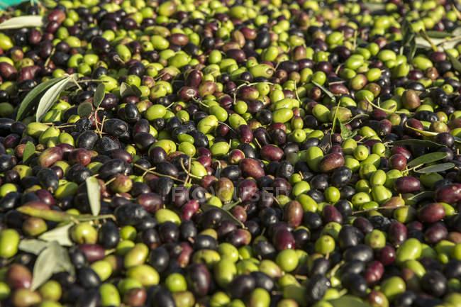 Оливки, после сбора урожая в Гарда, Италия — стоковое фото