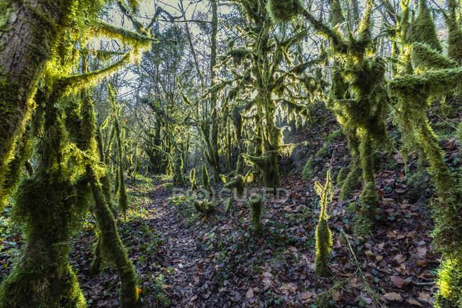 La lumière du soleil au-dessus d'une forêt magique avec des arbres recouverts de mousse verte et un sentier au milieu, à Bellegarde-sur-Valserine, France — Photo de stock