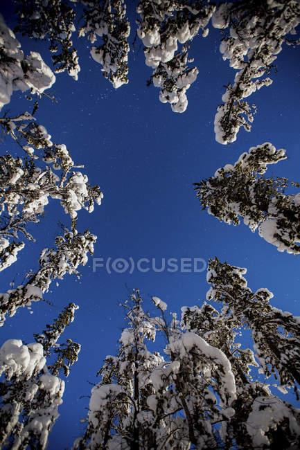 Low Angle View Of Snow couvertes d'arbres sous le ciel étoilé — Photo de stock