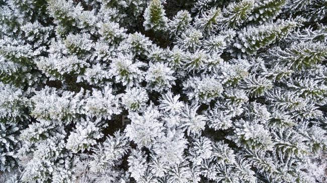 Vista superior da floresta de abetos cobertas de neve e geada — Fotografia de Stock
