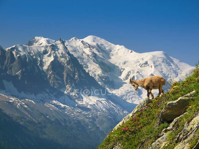 Capra di montagna in piedi sul bordo del pendio ripido con Monte bianco sfondo — Foto stock