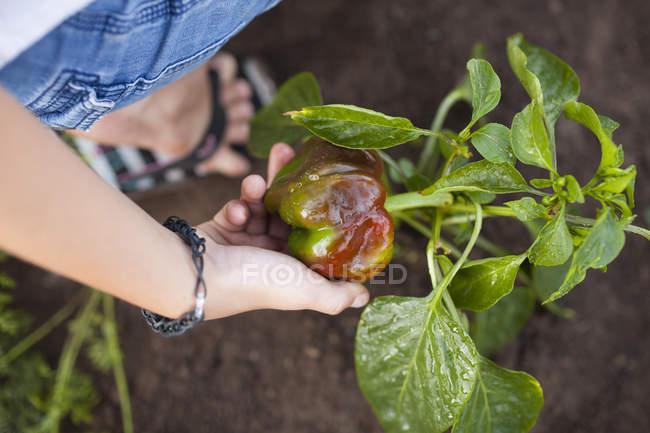 Жіночі жнива з саду в Форт - Ленглі — стокове фото