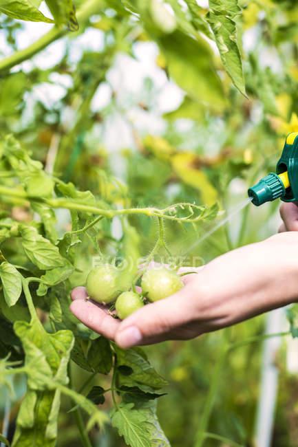 Primer plano de mujer mano riego tomates con atomizador - foto de stock