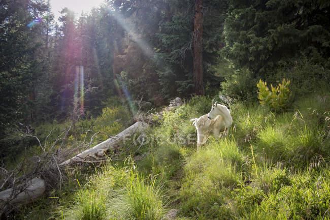Гірський козел в басейні Чикаго — стокове фото