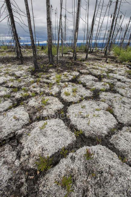 Перегляд голі дерева на пустельний краєвид палена лісу — стокове фото