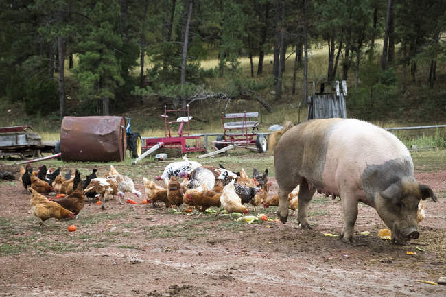 Стада курей і свиней на ранчо — стокове фото