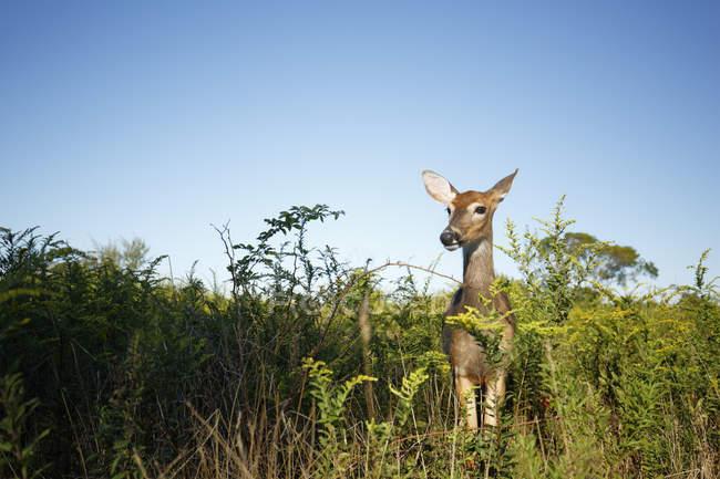 Чорнохвостих та білохвостих оленів на Sachuest точка Національний дикої притулок — стокове фото