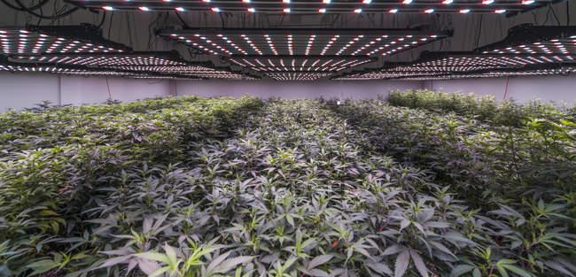 Plantation de marijuana à la croissance commerciale dans l'état de Washington — Photo de stock