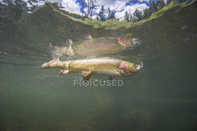Trota fario di Yellowstone sott'acqua con A volare nella sua bocca — Foto stock