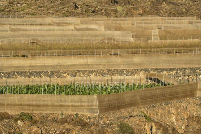 Terrazze di coltivazione In La Puntilla, Tenerife, Isole Canarie ...
