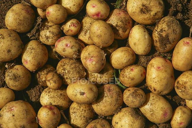 Draufsicht der frisch geernteten Kartoffeln als Hintergrund — Stockfoto