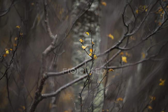 Letzte Herbstblätter auf unfruchtbaren Ästen, senja, Norwegen — Stockfoto