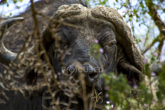 Porträt der Kaffernbüffel In Ngorongoro In Tansania — Stockfoto