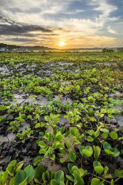 Cenário de vegetação de restinga durante o pôr do sol na praia do Pontal, Itacaré, Bahia, Brasil — Fotografia de Stock