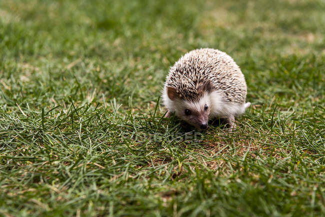 Selective focus of Hedgehog On Grassy Field in natural habitat — Stock Photo