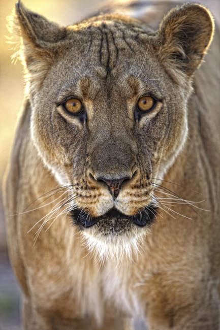 Retrato de Leona en jefe isla, reserva de caza Moremi, Okavango Delta, Botswana, África - foto de stock