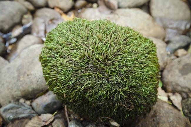 Mousse verte épaisse, chaîne-comme de plus en plus sur un rocher qui ressemble à des cheveux sur une tête humaine — Photo de stock