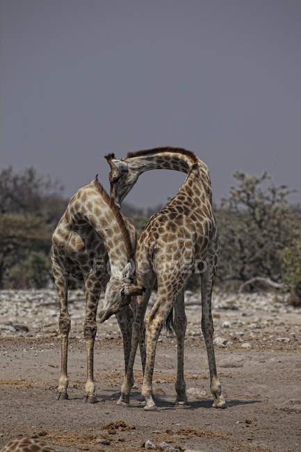 Jirafa angoleño, Namibio jirafa, Giraffa camelopardalis angolensis, en hábitat natural - foto de stock