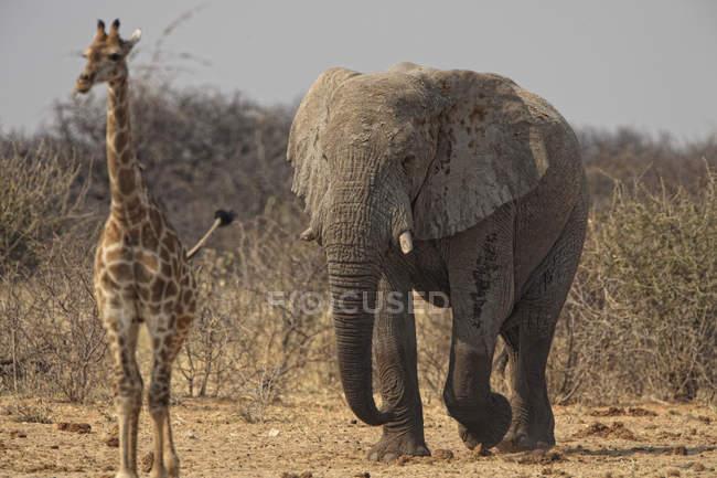 Слон Loxodonta africana и один giraff Жираф жирафа в Намибии Этоша — стоковое фото