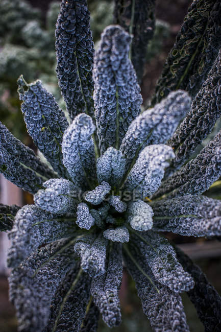 Kale in a garden at dawn with a coating of frost — Stock Photo