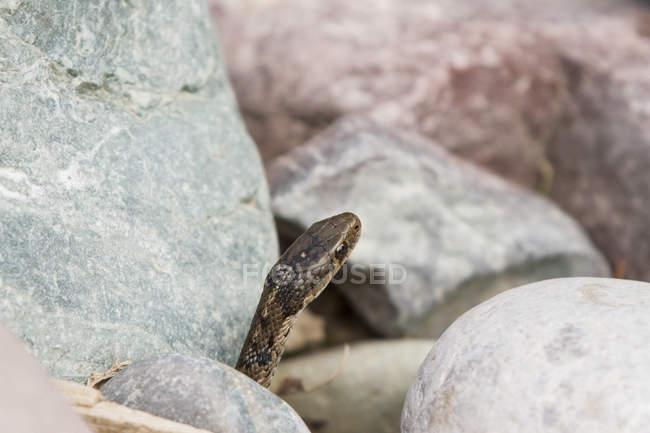 Крупним планом зору змія серед скель річки на береговій лінії Middel відгалуження від сокири простак річки, Монтана — стокове фото