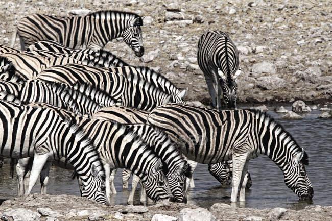 Рівнини зебр кінь quagga Група пити, Намібія, Африка — стокове фото