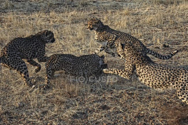 Cerrar vista de grupo de Cheeta, Acinonyx Jubatus, Parque Nacional de Etosha, Namibia - foto de stock