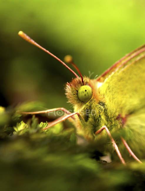 Gemeinsamen Brimstone Schmetterling — Stockfoto