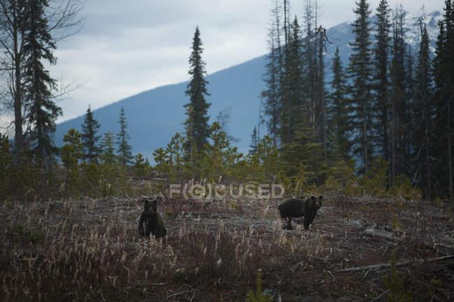 Frères des ours grizzly — Photo de stock