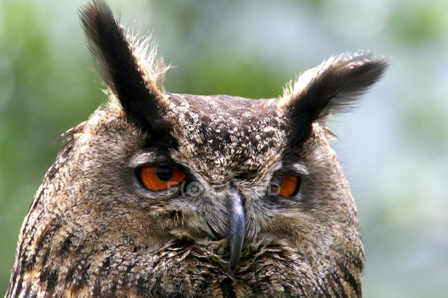 Wild Eurasian Eagle Owl — Stock Photo