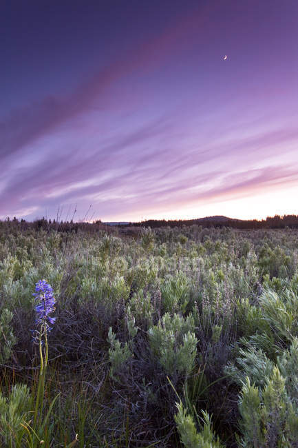 Lupine wildflowers in Truckee during sunset — Stock Photo
