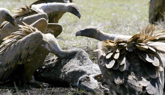 Eurasische Gänsegeier, selektiver Fokus — Stockfoto