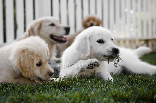 Groupe de jeunes chiots jouant dans l'herbe avec maman en arrière-plan — Photo de stock