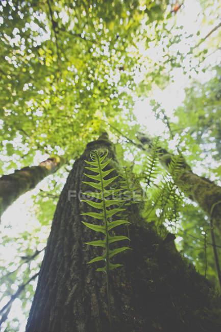 Солодка Папоротник вырастает из большого Дуглас ель в Британской Колумбии, Канада — стоковое фото