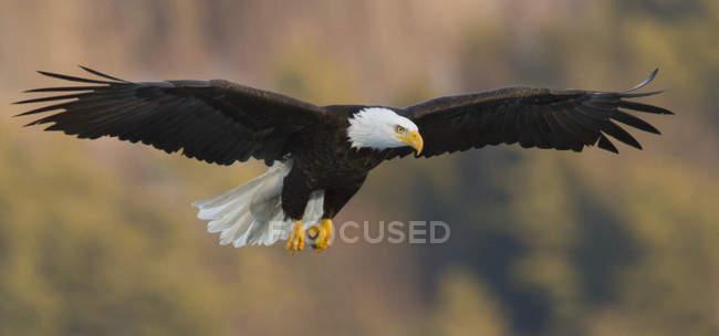 Chiuda sulla vista di Aquila americana Haliaeetus leucocephalus in volo nei pressi del Lago di Maine centrale — Foto stock