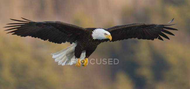 Cerrar vista de americano águila calva Haliaeetus leucocephalus en vuelo cerca de lago de Maine central - foto de stock