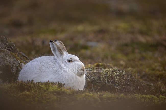 Primo piano di lepri di montagna, Montagne Scozzesi, Scozia, Regno Unito — Foto stock