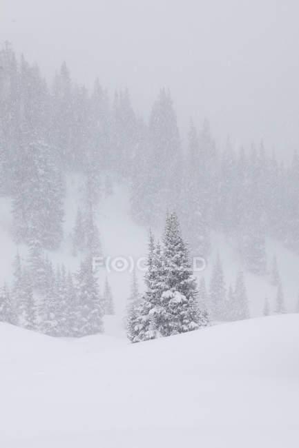 Conifère de blizzard au-dessus de Red Mountain Pass, forêt nationale de San Juan, Colorado — Photo de stock