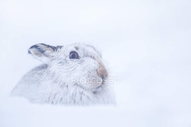 Lepus timidus, Lepus timidus cercando di celarsi in snowscotland, Regno Unito — Foto stock