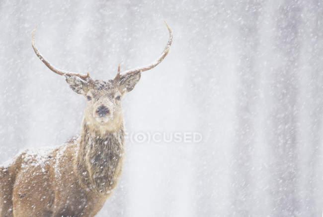 Ciervos rojos en fuertes nevadas mirando a cámara, Escocia - foto de stock