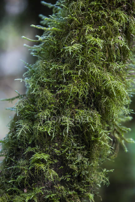 Green moss growing on a tree in Guatemala — Stock Photo