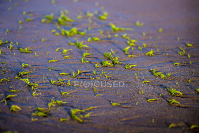 Nahaufnahme von kleinen Algen Pflanzen am Boden, Bali, Indonesien — Stockfoto