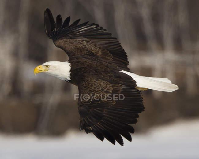 Nahaufnahme der Weißkopfseeadler über zentrale Maine See fliegen — Stockfoto