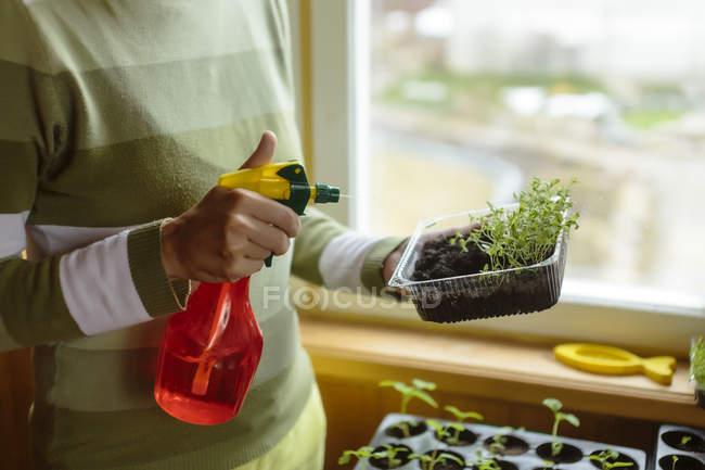 Mujer rocía las plantas de tomate en envase de plástico - foto de stock