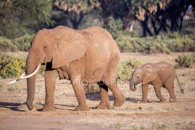 Famiglia dell'elefante di due a Samburu National Reserve, Kenya — Foto stock