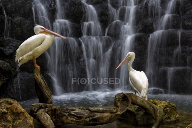 Два Білий Пеликан птахів проти водоспад, Шкарет парк, Плайя дель Кармен, півострова Юкатан, Мексика — стокове фото